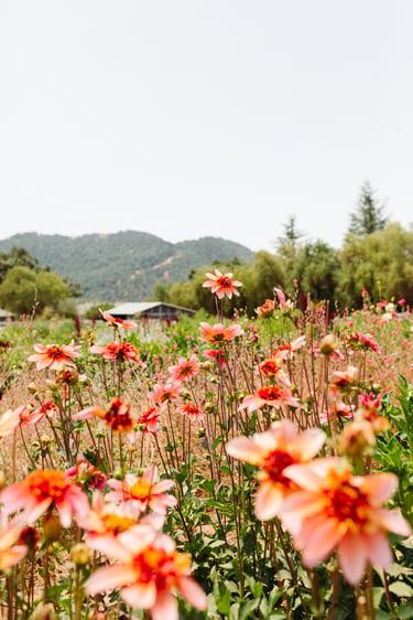 A field of orange and pink Dahlia flowers grow on The Starter Farm in Santa Ynez California