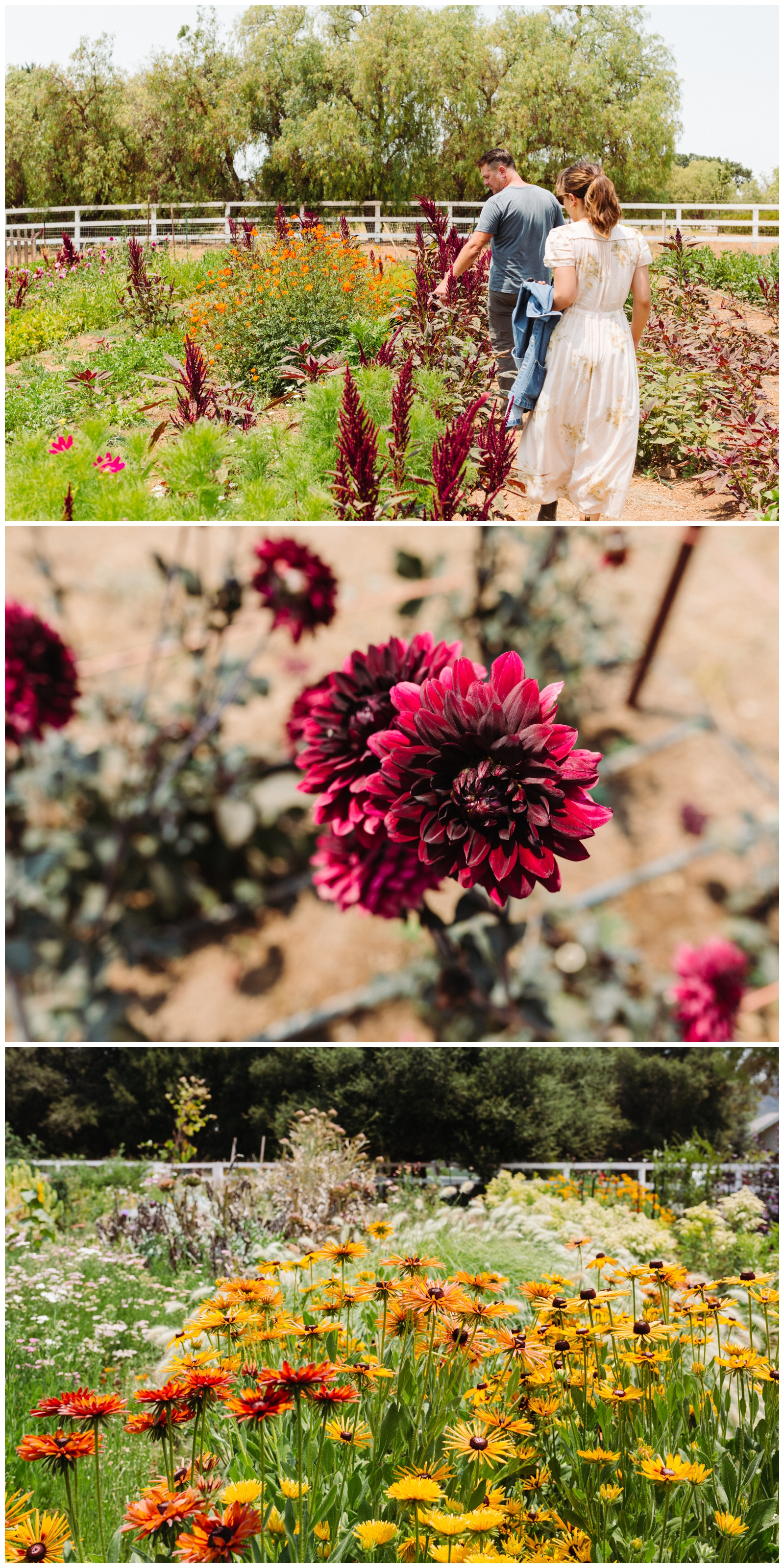 Three images stacked vertically. Image one is owner and Farmer Mark Donofrio and Santa Barbara Company floral designer Kati walking through the flower section of The Starter Farm in Santa Ynez Valley. Image two is of a burgundy dahlia on the farm. Image three is a field of flowers on the farm